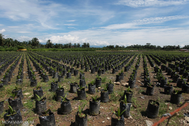 A future oil palm plantation