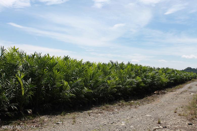 Oil palm nursery [sumatra_0822]