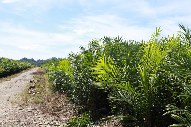 Oil palm nursery [sumatra_0824]