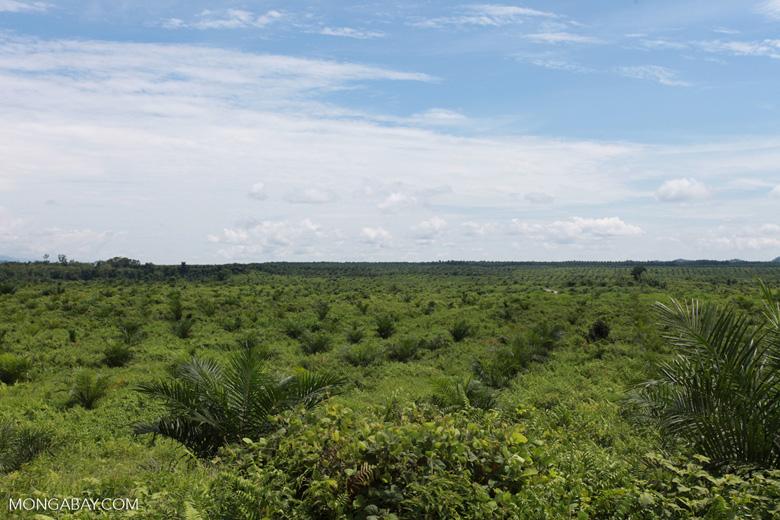 Newly established oil palm plantation near Tangkahan village [sumatra_0825]