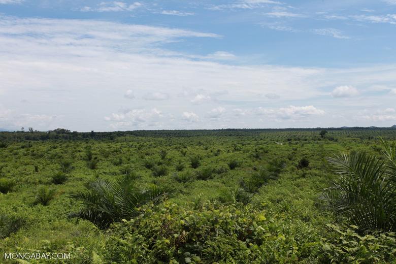 Newly established oil palm plantation near Tangkahan village [sumatra_0828]