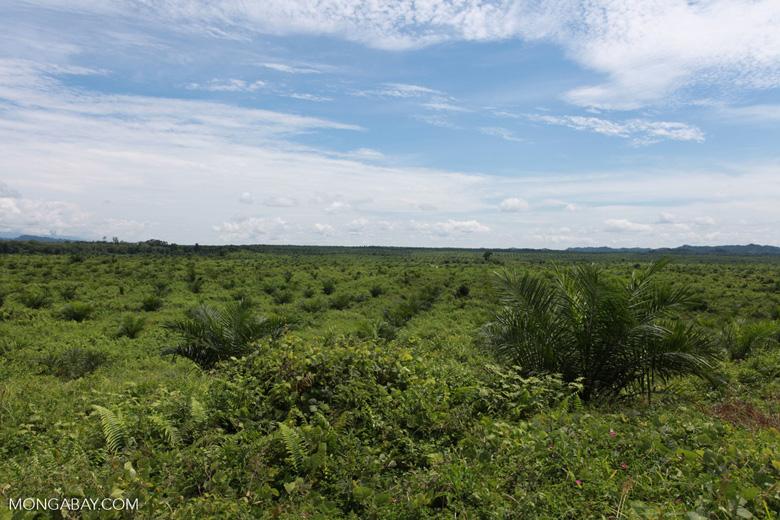 Newly established oil palm plantation near Tangkahan village [sumatra_0829]