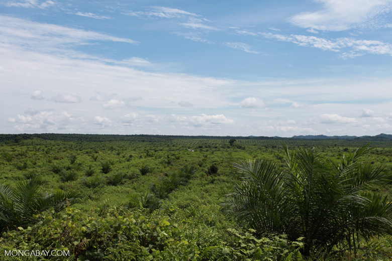 Newly established oil palm plantation near Tangkahan village