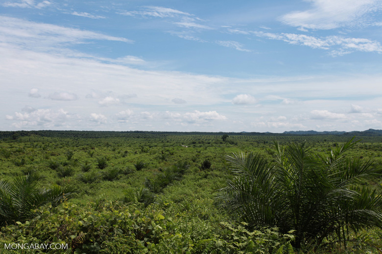 Newly established oil palm plantation near Tangkahan village [sumatra_0832]
