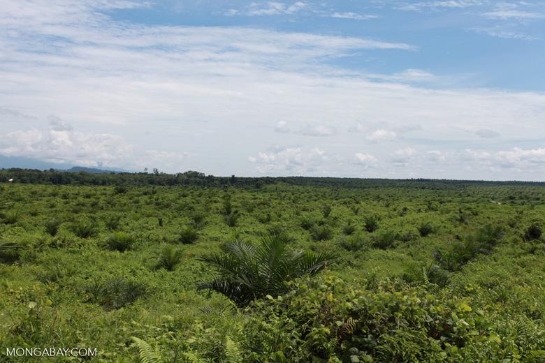 Newly established oil palm plantation near Tangkahan village [sumatra_0834]