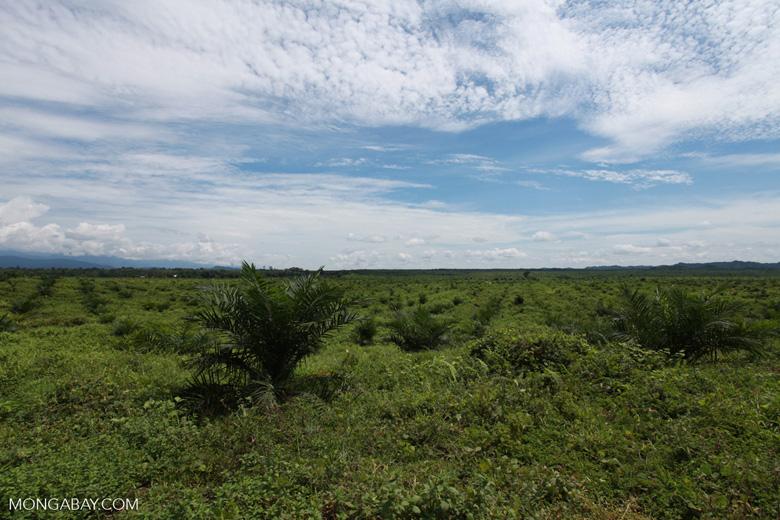 Newly established oil palm plantation near Tangkahan village [sumatra_0837]