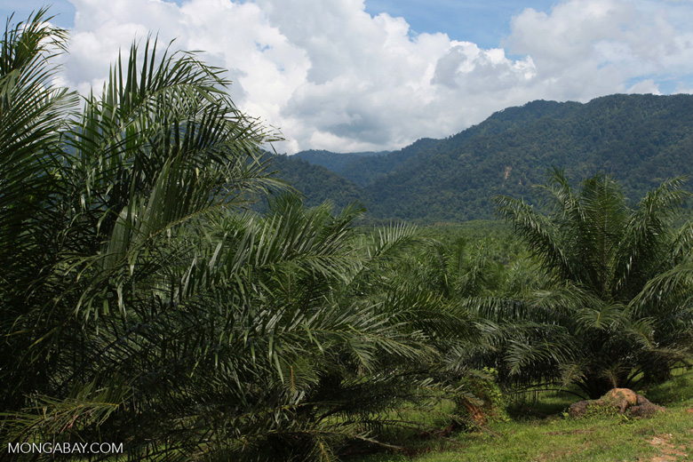 Oil palm plantation and rainforest near Tangkahan village [sumatra_0840]