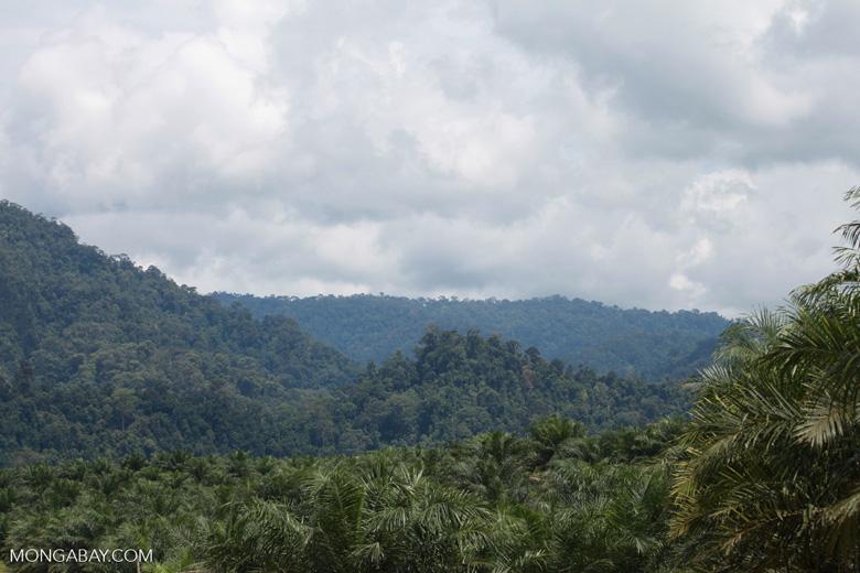 Oil palm plantation and rainforest near Tangkahan village [sumatra_0843]