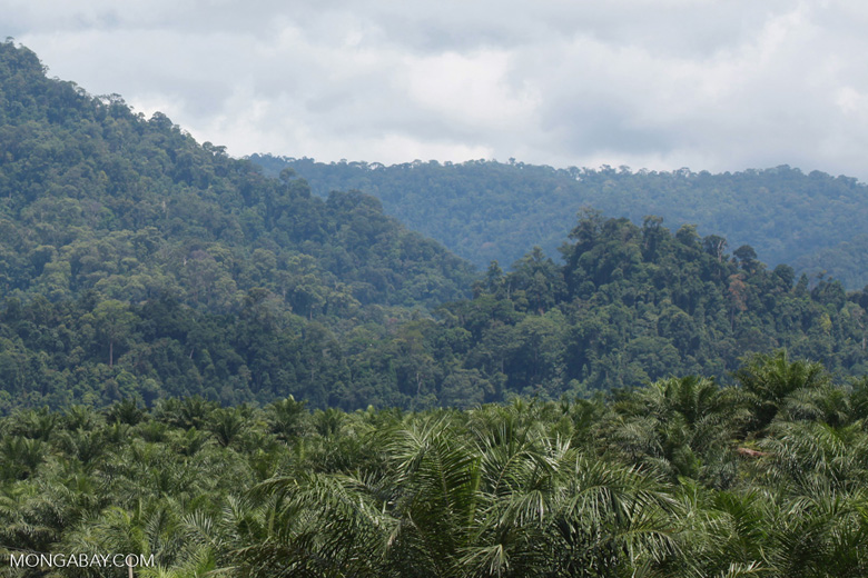 Oil palm plantation and rainforest near Tangkahan village