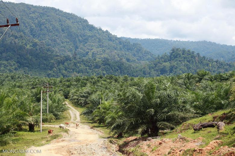 Oil palm plantation and rainforest near Tangkahan village [sumatra_0846]