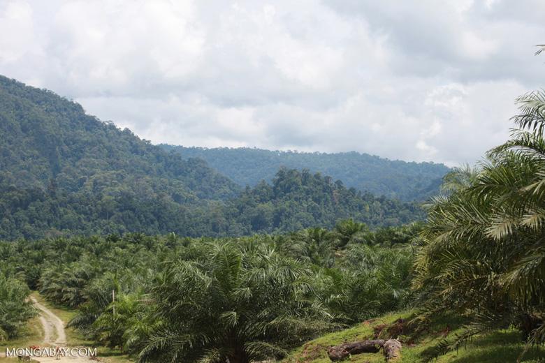 Oil palm plantation and rainforest near Tangkahan village [sumatra_0847]
