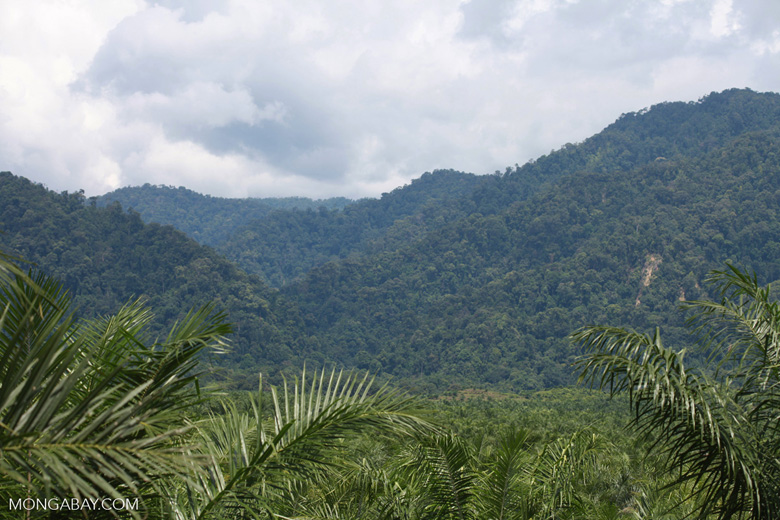Oil palm plantation and rainforest near Tangkahan village [sumatra_0848]