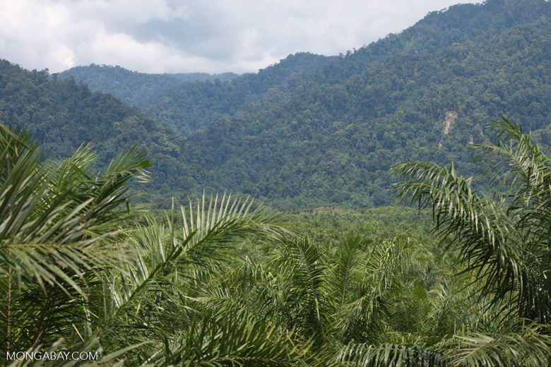 Oil palm plantation and rainforest near Tangkahan village [sumatra_0849]