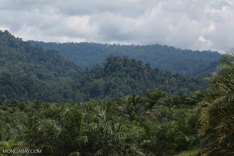 Oil palm plantation and rainforest near Tangkahan village [sumatra_0850]