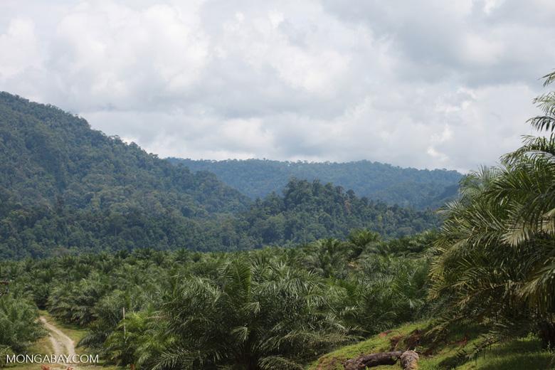 Oil palm plantation and rainforest near Tangkahan village [sumatra_0852]