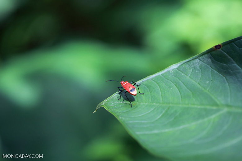 Red shield bug [sumatra_0862]