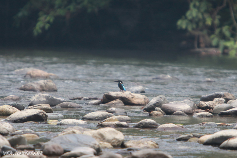 White-throated Kingfisher (Halcyon smyrnensis)?