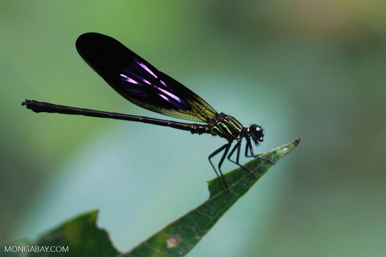 Black, violet, and green damselfly