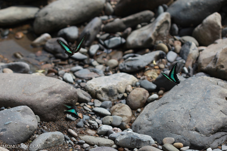 Turquoise and black butterflies