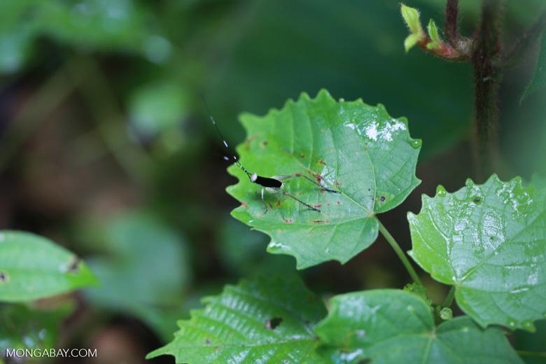 Black and white cricket [sumatra_1013]
