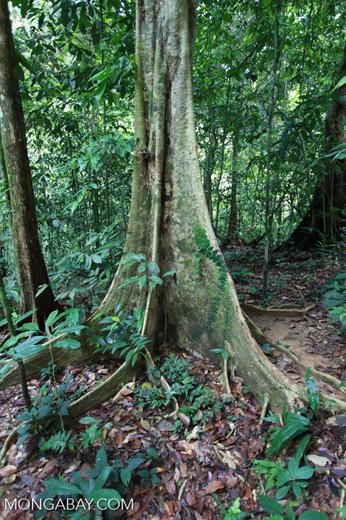 Rainforest buttress roots
