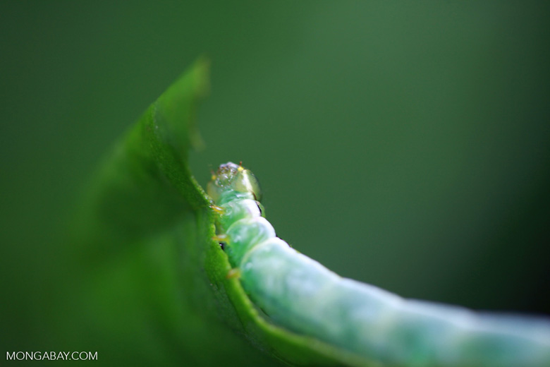 Green caterpillar [sumatra_1060]