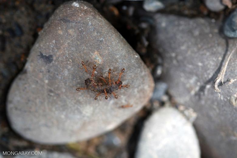 Ants eating a caterpillar [sumatra_1114]