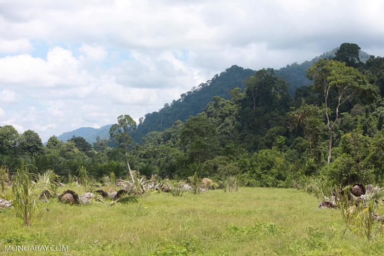Oil palm plantation adjacent to Gunung Leuser National Park [sumatra_1135]