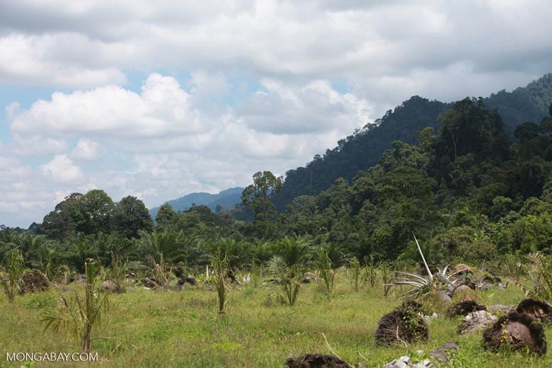 Oil palm plantation adjacent to Gunung Leuser National Park [sumatra_1137]