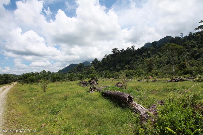 Oil palm plantation adjacent to Gunung Leuser National Park [sumatra_1141]