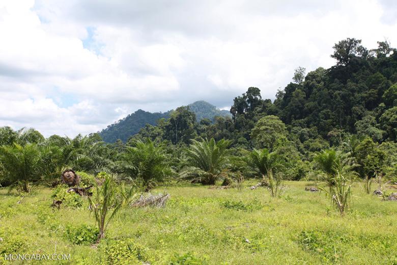 Oil palm plantation adjacent to Gunung Leuser National Park [sumatra_1147]
