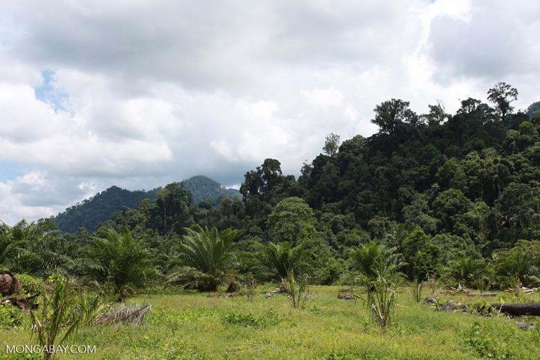 Oil palm plantation adjacent to Gunung Leuser National Park [sumatra_1149]