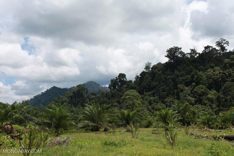 Oil palm plantation adjacent to Gunung Leuser National Park [sumatra_1151]