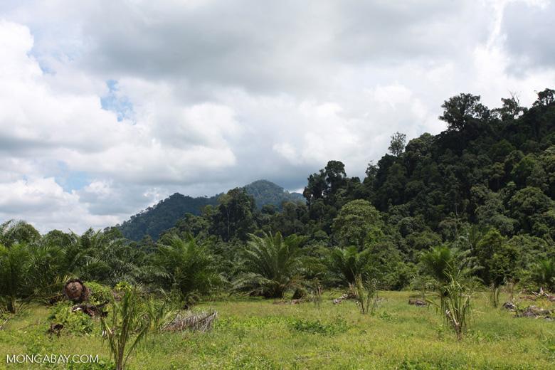 Oil palm plantation adjacent to Gunung Leuser National Park [sumatra_1152]