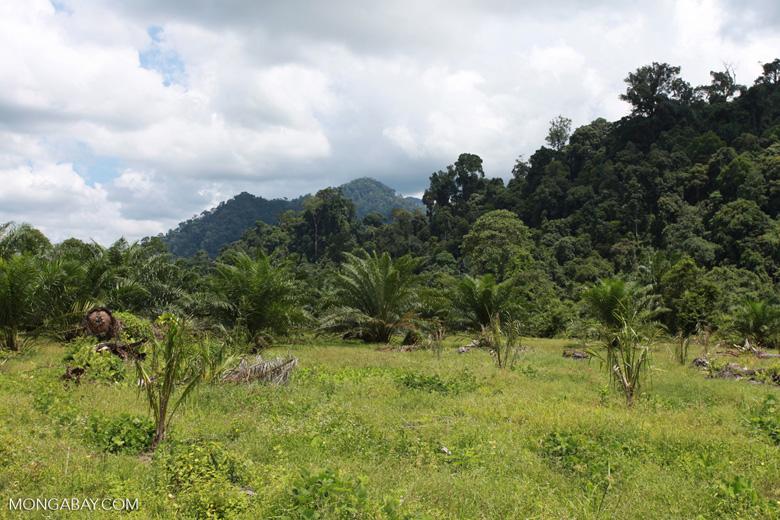 Oil palm plantation adjacent to Gunung Leuser National Park [sumatra_1153]