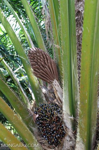 Unripe oil palm fruit [sumatra_1164]