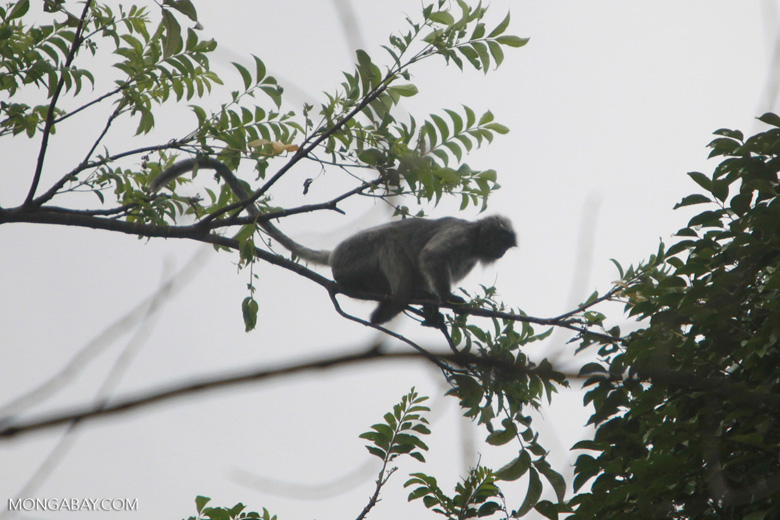 Long-tailed macaque in the forest canopy