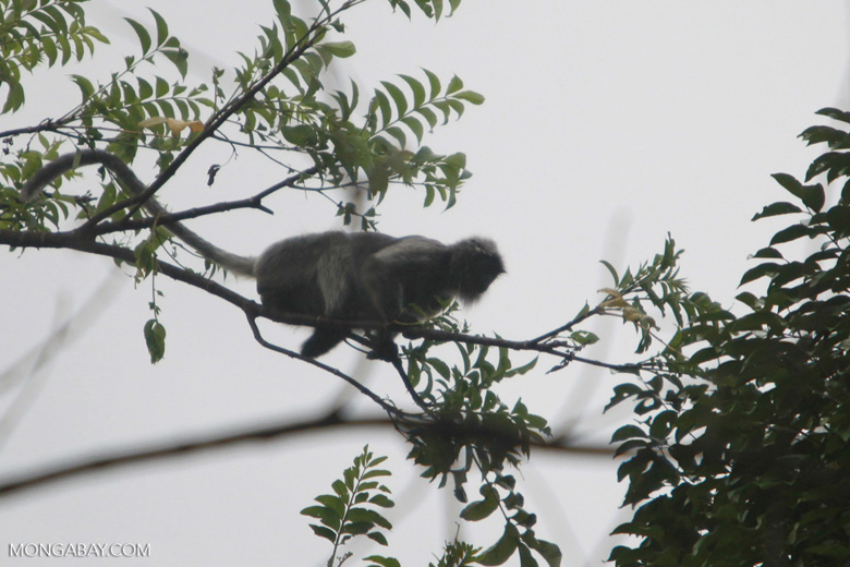 Long-tailed macaque in the forest canopy [sumatra_1179]