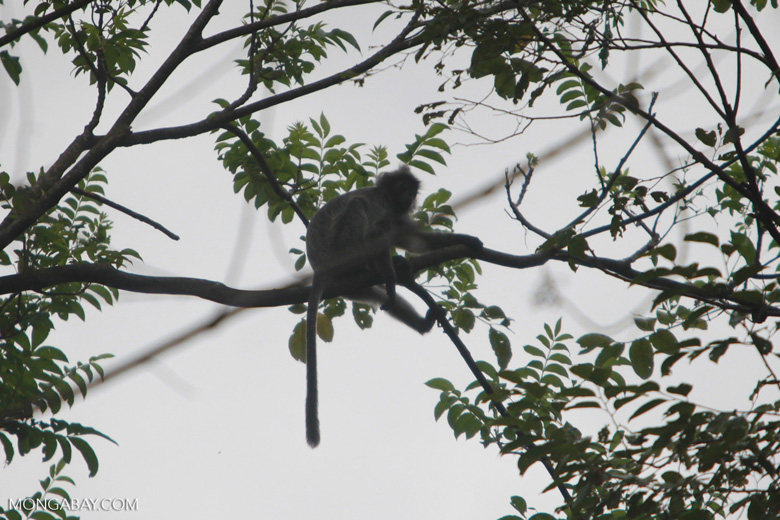 Long-tailed macaque in the forest canopy [sumatra_1182]