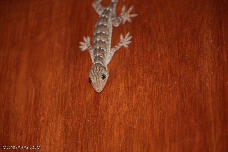 Striped house gecko [sumatra_1185]