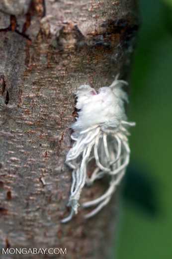 White furry insect (possibly Fulgorid Planthopper nymph)