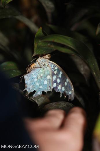 Iridescent blue butterfly