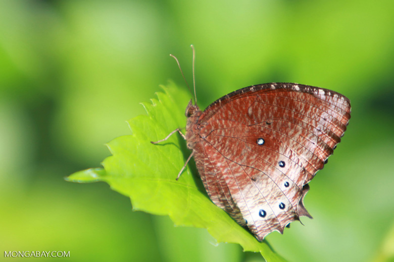 Brown Elymnias panthera tautra butterfly with blue spots
