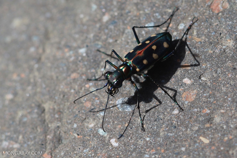 Colorful tiger beetle