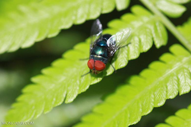 Red-eyed fly [sumatra_1317]