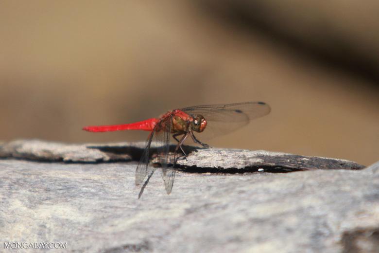 Red grasshawk [sumatra_1326]