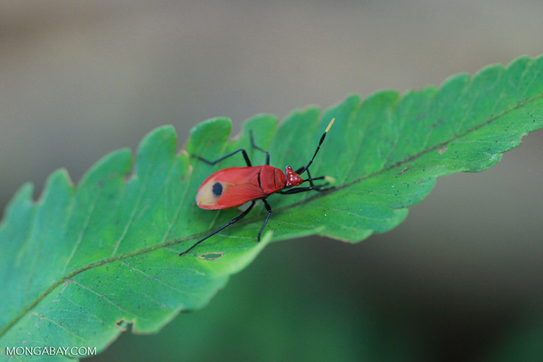 Red shield bug [sumatra_1332]