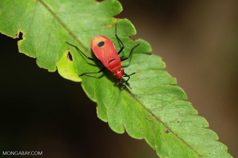 Red shield bug [sumatra_1335]
