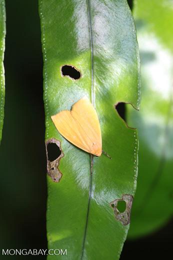 Yellow-orange moth