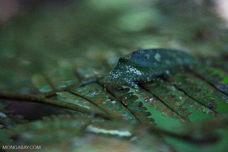 Katydid camouflaged to resemble bird droppings on a fern [sumatra_1348]